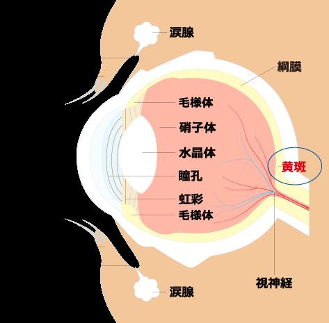 黄斑上膜☆埼玉中医薬研究会